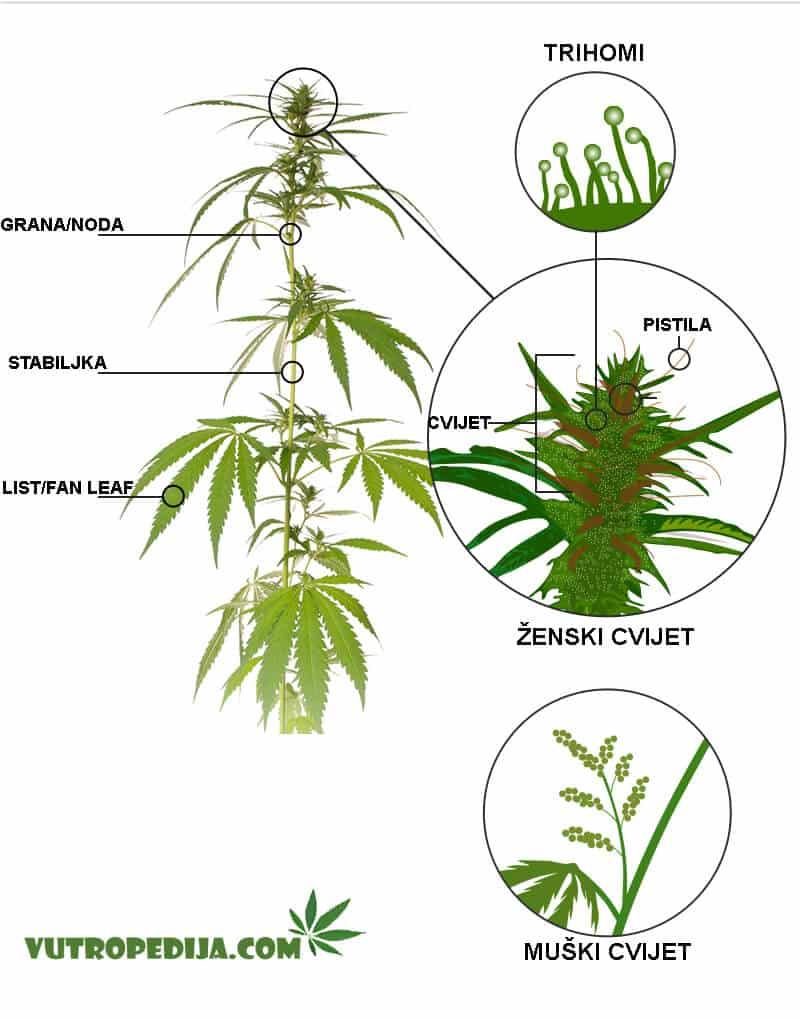 Dijelovi kanabisa/marihuane - raspodjela na dijelove