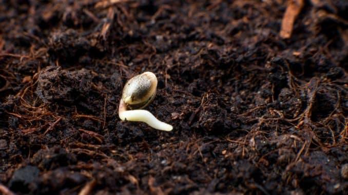 Uzgoj marihuane - klijanje sjemenki