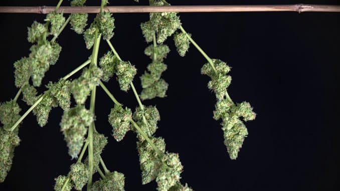 Uzgoj marihuane u 10. koraka - susenje marihuane
