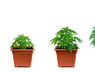 uzgoj marihuane u 10 koraka!