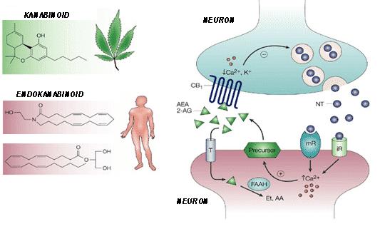 Endokanabinoidni sustav djelovanje
