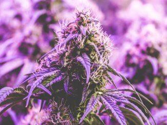 indoor uzgoj marihuane zahtjeva posebne tehnike