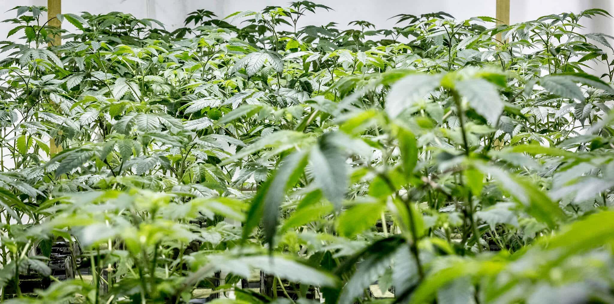 Pojavljivanje plijesni u indoor uzgojnim uvjetima ćete postići ostvarivanjem idealnih klimatskih uvjeta.