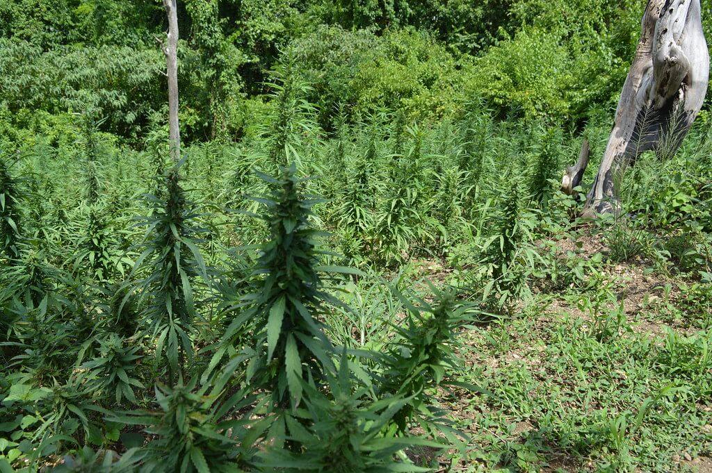 Kanabis je podložniji napadima plijesni u outdoor uzgojnim uvjetima.
