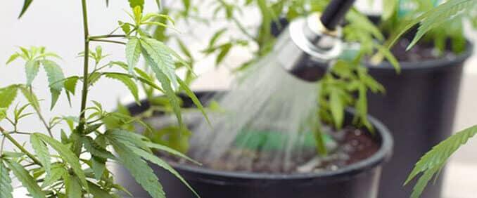 Ispiranje kanabisa odnosno fluhsing je korisna stvar kod uzgoja
