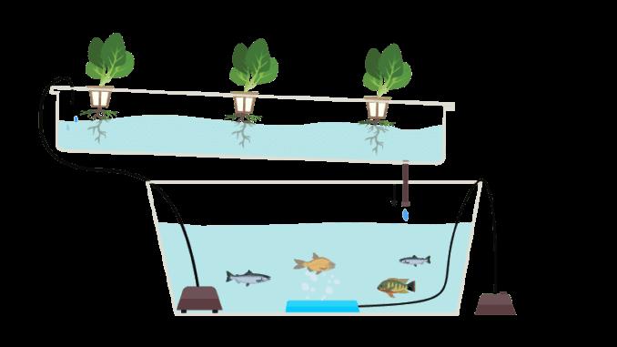 Akvaponika je metoda u kojoj se koriste akvariji i ribe kao izvor hranjvih tvari