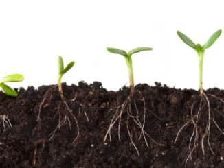Korijenje kanabisa je izrazito bitno za razvoj biljke