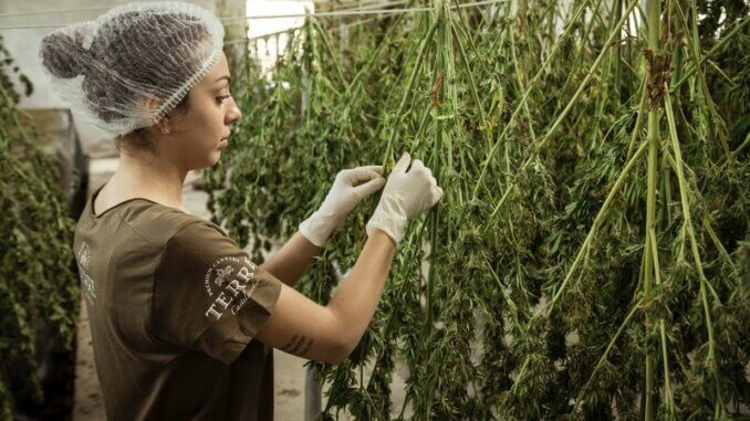 Profesionalni uzgajivači koriste autoflowering sjeme kako bi obavili više rotacija na godinu