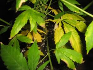 žuto lišće, nutrijenti za uzgoj kanabisa