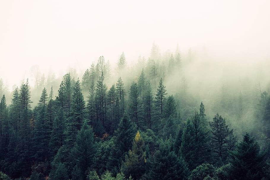 alfa i beta pineni u borovoj šumi