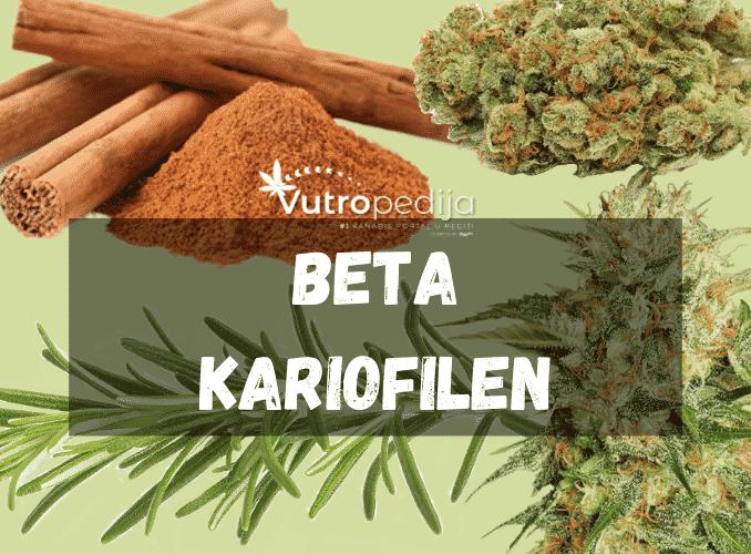 Beta kariofilen se može pronaći u kanabisu, cimetu, ružmarinu i mnogim dr biljkama