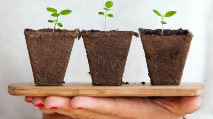 Klijanje sjemenki kanabisa uz nekoliko metoda