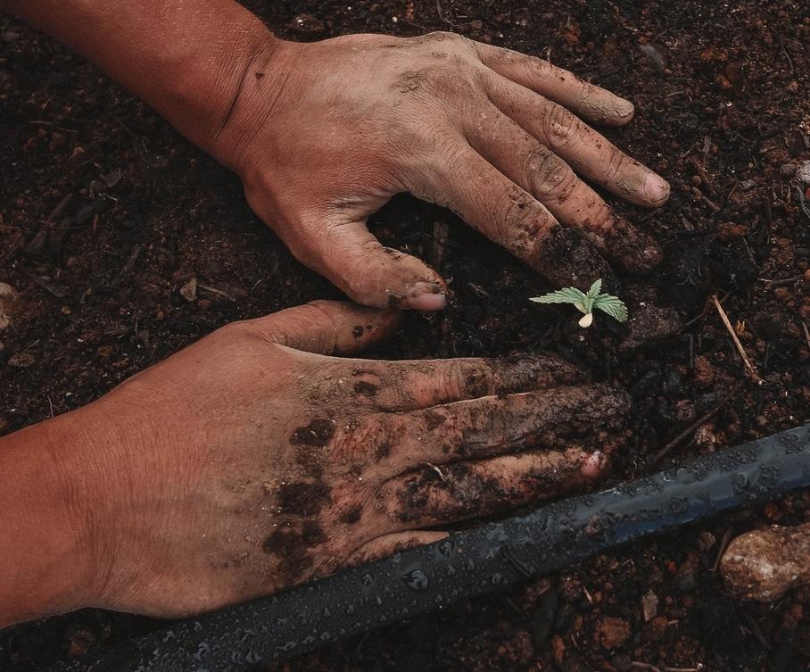 Postoji nekoliko metoda proklijavanje sjemenki kanabisa