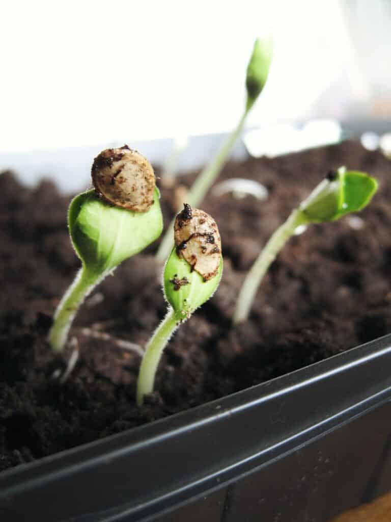 Sjemenke kanabisa u postupku klijanja